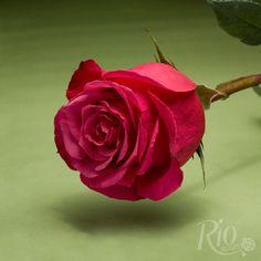 Rio Roses: Cherry O