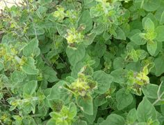 Four-lined plant bug damage to oregano.