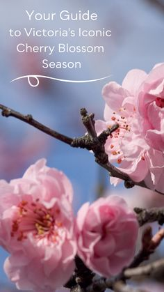 With the mildest climate in Canada and the earliest blooming time, we are blanketed in shades of pink from February to May! Check out our guide on experiencing Victoria's cherry blossom season! Bright Flowers, Spring Flowers, Hatley Castle, Flowering Cherry Tree, Alpine Garden, Visit Victoria, Cherry Blossom Season, Canada, Pink Petals