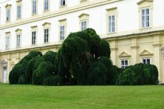 Discover the world through photos. Sophora Japonica Pendula, Weeping Trees, Mansions, Park, House Styles, World, Home, Decor, Gardens