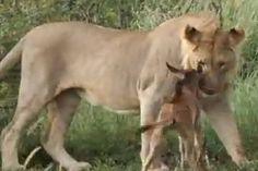 Inesperado final de la persecución de una leona a un ñu bebé..