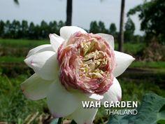 บัวหลวงกลีบซ้อน Juwuba 13 TH2 | www.Klong15.com บัวหลวงกลีบซ… | Flickr Nelumbo Nucifera, Rose, Garden, Flowers, Plants, Pink, Garten, Lawn And Garden, Gardens