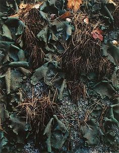 "Eliot Porter- ""Lichen and Pine Needles on Boulder, Madison, New Hampshire, October 12, 1953."""