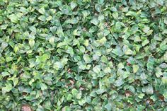 1 Artificial Boxwood Hedge Mat 10 inches x 10 by GeraniumStreet, $10.00