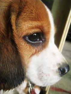 baby beagle pup