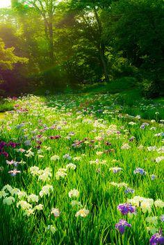 Japanese Irises   Flickr - Photo Sharing!