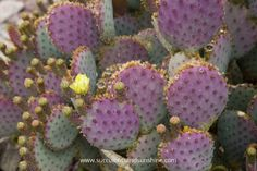The purple hues with the yellow flower on this Opuntia violacea Santa Rita are beautiful!