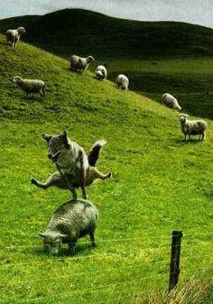 Farm Animals, Animals And Pets, Funny Animals, Cute Animals, Funny Animal Pictures, Funny Photos, Isaiah 11, Jumping Dog, Funny Sheep