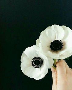 gardens minimal black and white anemones. anemone flower, minimalist, minimalism black and white anemones. Anenome Flower, White Anemone Flower, Anemone Bouquet, Ranunculus, Poppy Flowers, Anemone Wedding, Wedding Bouquets, Wedding Flowers, Grand Art