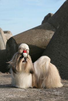 shihtzu ancient breed
