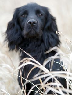 Black Field Spaniel ♥ I see my Shadow puppy so well in this pic!
