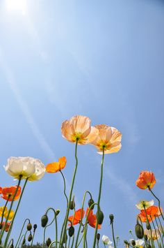 #119 by ✿myk✿, via Flickr Poppies standing tall in the sun~ April,2012, Japan.