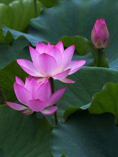 Lotus flowers:  idea for tattoo