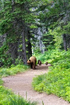 "Bears ~ Mom And Her Cubs ~ ""Taking a Stroll..."" (Photo By: Harshad Paranjape.)"