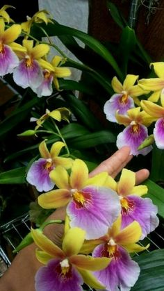 Orquideas Cymbidium, Planting Shrubs, Blue Orchids, Orchid Care, Beauty Photos, Dance Moms, Horticulture, House Plants, Iphone Wallpaper
