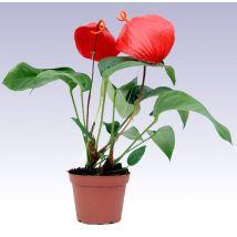 Dél-Afrikai flamingóvirág, Anthurium scherzerianum 40 cm magas 12cs Green Office, Plants, Green Desk, Flora, Plant, Planting