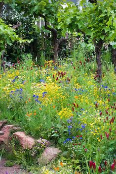 Trebbiano Grape fruit vine Vitis with naturalistic flower meadow of native American wildflowers, yellow, white and blue color theme lush flower garden, Bonterra's Organic Wine Garden, Chelsea Flower Show, designed by Kate Frey