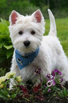 Our neighbors had a dog that looked just like this one. Even down to the kerchief around his neck.