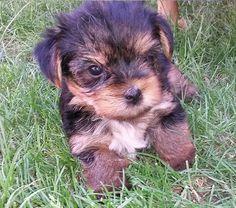 Yorkshire Terrier - Puppy