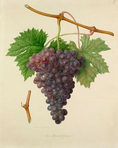 Watercolour by William Hooker of The Poonah Grape. This is taken from one of ten volumes known as 'Hooker's Fruits' which were commissioned by the RHS to help standardise the nomenclature of cultivated fruit. Creator  Hooker, William (1779-1832) (Artist) Date  1820: