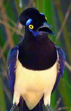 Plush Crested Jay