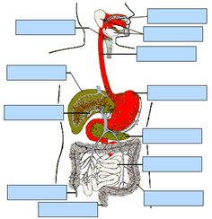 Digestive system interactive.
