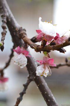 Flores de Damasco by Claudia Crempien - PhotoBlog