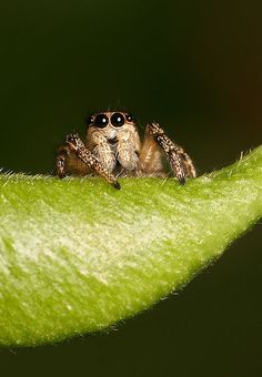 Jumping Spider Salticus scenicus - cuter than any teddy bear! (But probably not as cuddly, haha!)
