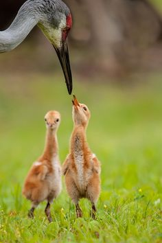 Sandhill Crane with chicks by Michael Libbe.
