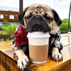 Pugs are so amazing! They are just so charming and adorable. Get Pug-amazed! Cute Pug Puppies, Black Pug Puppies, Cute Dogs, Dogs And Puppies, Terrier Puppies, Bull Terriers, Bulldog Puppies, Doggies, Cute Funny Animals