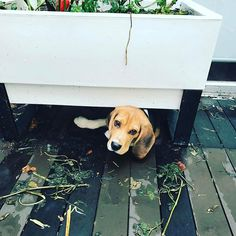 #SPEAKMYBEAGLE | Repoest from IG @_bob_the_beagle