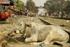 Cows in India: http://jessicajhill.com/2013/03/13/india-in-images-life-in-the-holy-city-of-haridwar/