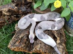 Wow - love this Super Pewter Ball Python Morph Snake Les Reptiles, Cute Reptiles, Reptiles And Amphibians, Pretty Snakes, Beautiful Snakes, Beautiful Creatures, Animals Beautiful, Dream Snake, Colorful Snakes