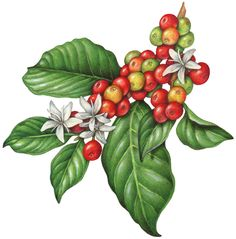 Botanical illustration of a branch of a coffee plant with leaves, flowers and berries.