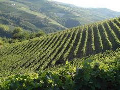 The vineyards of Moscato
