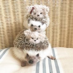 As far as pets go, it is the African pygmy hedgehog that is the most popular. These hedgehogs have a lifespan of around. Super Cute Animals, Cute Little Animals, Cute Funny Animals, Baby Animals Pictures, Cute Animal Pictures, Animals And Pets, Pygmy Hedgehog, Baby Hedgehog, Mundo Animal