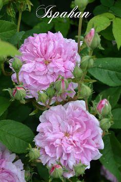 Mon Jardin Mes Merveilles: Un samedi à Malmédy (2/3) : Balade dans la roseraie