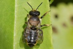 Megachile Leaf-cutter bee (Megachile centuncularis). Subfamily leafcutter bees(Megachilinae). female Family Megachilidae.