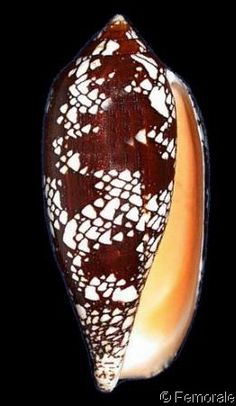 Darioconus aulicus    Linnaeus, C., 1758	 Princely/Guilded Cone	 Shell size 65 - 163 mm	 Indo-Pacific excl Hawaii
