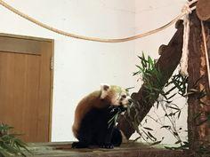 茶臼山動物園はレッサーパンダの聖地!?見所やおみやげ情報について - yura note