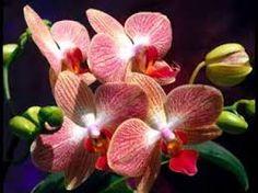Resultado de imagem para orquideas brasileiras silvestres