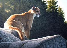 Rocky Lookout - Cougar - Mountain Lion - Puma - painting by W. Allan Hancock
