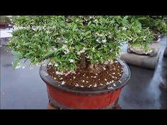 bonsai Mai Chiếu Thủy khu triển lãm Bonsai cây cảnh Bonsai Art, Plants, Plant, Planets