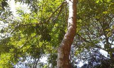 Pau-brasil ganha novo nome científico Estudo cria novo gênero de plantas para incluir árvore símbolo do nosso país