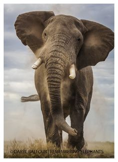 Elephant Bull Charge, donated by Daryl Balfour Baby Exotic Animals, Big Animals, Happy Animals, Animals And Pets, Lion Photography, Elephant Photography, Elephant Artwork, Elephant Love, African Elephant