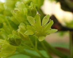 Flor d'ACER PLATANOIDES (SAPINDÀCIES)