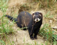 British Polecat