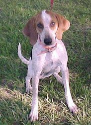 Virginia May is an adoptable Coonhound Dog in Lexington, MA. Ginny Mae is a pretty little hound = maybe a bluetick/redtick/walker mix ?  We think she was someone's pet because she arrived at the shelt...