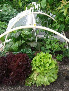 Lulu Bermann: Salaterne er gendyrk, fra hoveder jeg købte i foråret.