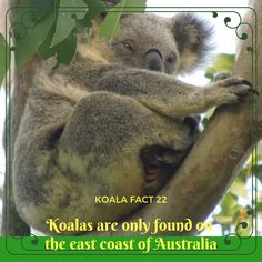 Did you know that we only live on the coast? Mist can tell you lots and lots more about koalas with fun games and activities if you click through to her site :) Coast Australia, Australia Travel, Shark Conservation, Australian Beach, Indian Elephant, Fun Games, Animal Photography, Baby Elephants, Giraffes